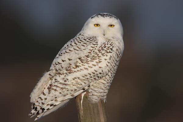 Snowy Owl Photo Courtesy Steve Jamsa